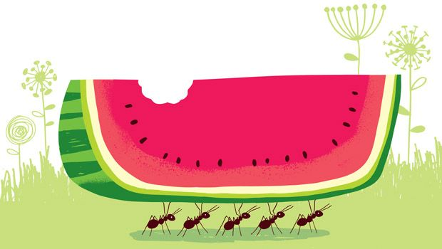 Ants working together carrying a piece of watermelon